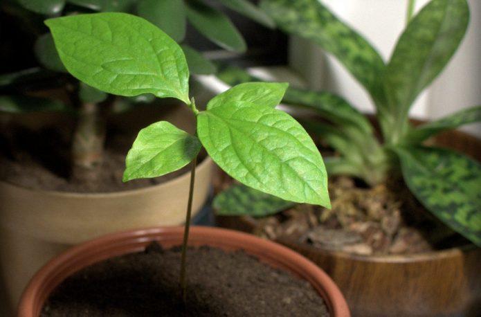 Хурма домашняя: сажаем косточку и растим деревце