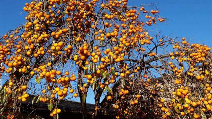 Хурма Россиянка – морозостойкий сорт субтропического фрукта