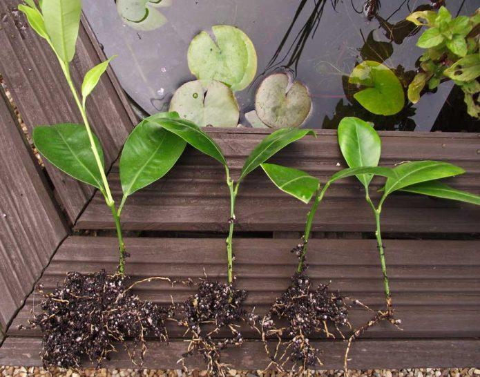 Как посадить мандарин в горшке и ухаживать за ним в домашних условиях