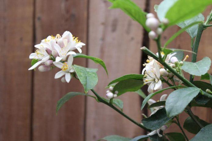 Как правильно обрезать домашний лимон: формируем крону и стимулируем цветение