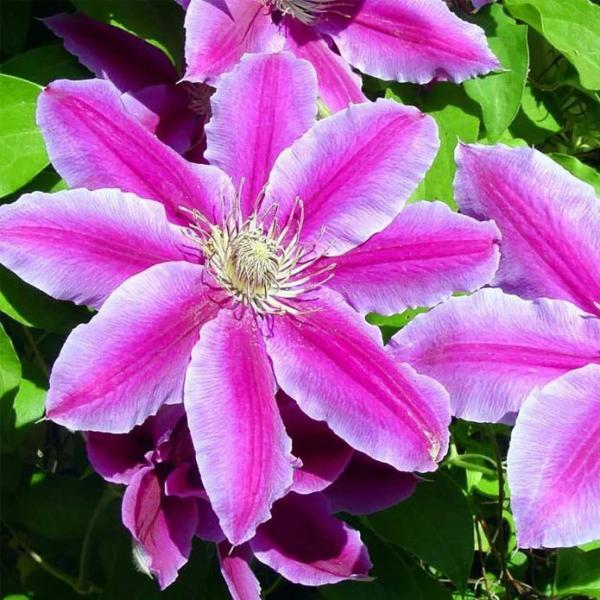 Клематис Нелли Мозер — французская классика с необычными цветками