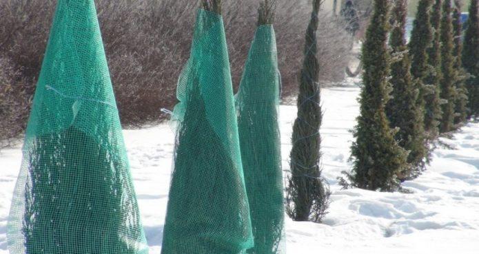 Нужна ли вечнозелёным хвойникам зимняя шубка
