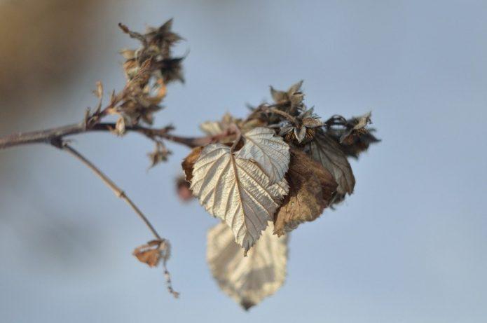 Обрезка ремонтантной малины весной, летом и осенью