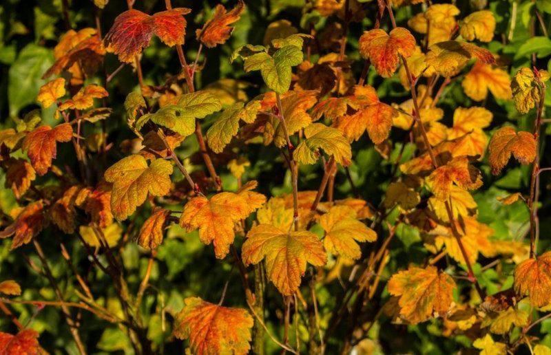 Осенняя обрезка смородины: руководство для начинающих