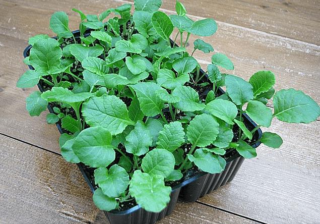 Примула из семян: выращивание в комнатной и садовой культуре
