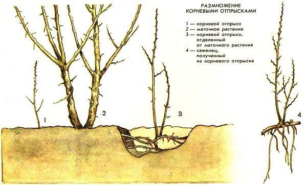 Размножение гортензии в осеннее время