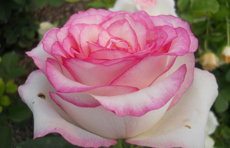 «Сладкая жизнь» розовода: чайно-гибридный сорт розы Дольче Вита