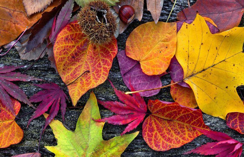 Тест-гербарий:Угадайте дерево по осенним листьям