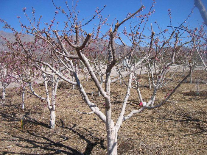 Уход за яблоней: что нужно сделать после сбора урожая до наступления холодов
