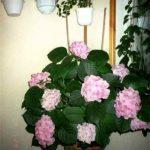 Всё о красавице гортензии в домашнем выращивании