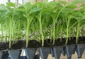 Как правильно вырастить рассаду в домашних условиях