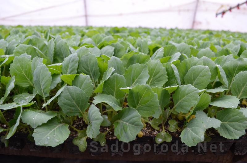Как вырастить белокочанную капусту в открытом грунте: схема посадки, нюансы выращивания и правильный уход