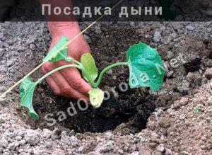 Посадка дыни в открытом грунте: как вырастить, уход, рассада, как растет дыня