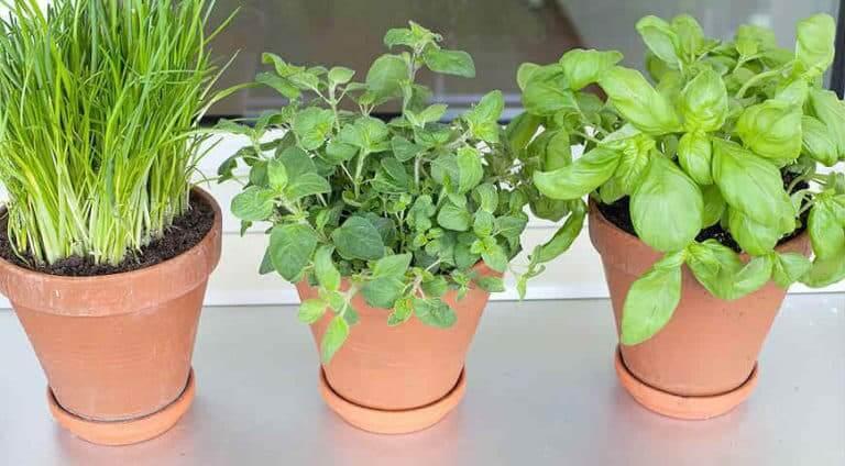 Как вырастить зелень на подоконнике в квартире круглый год