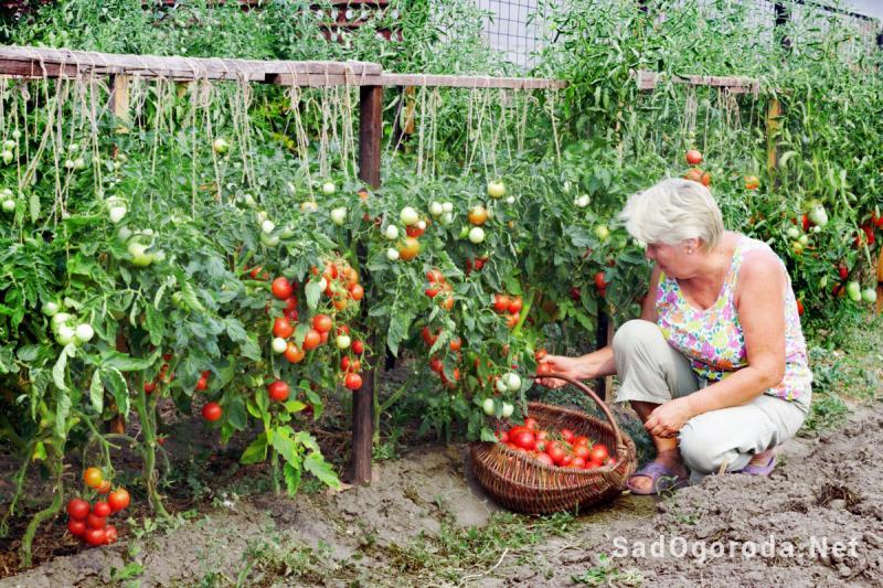 Выращиваем хороший урожай помидор в открытом грунте