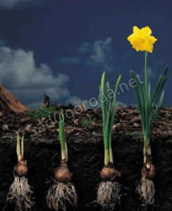 Способ размножения тульпанов, выращивание луковиц