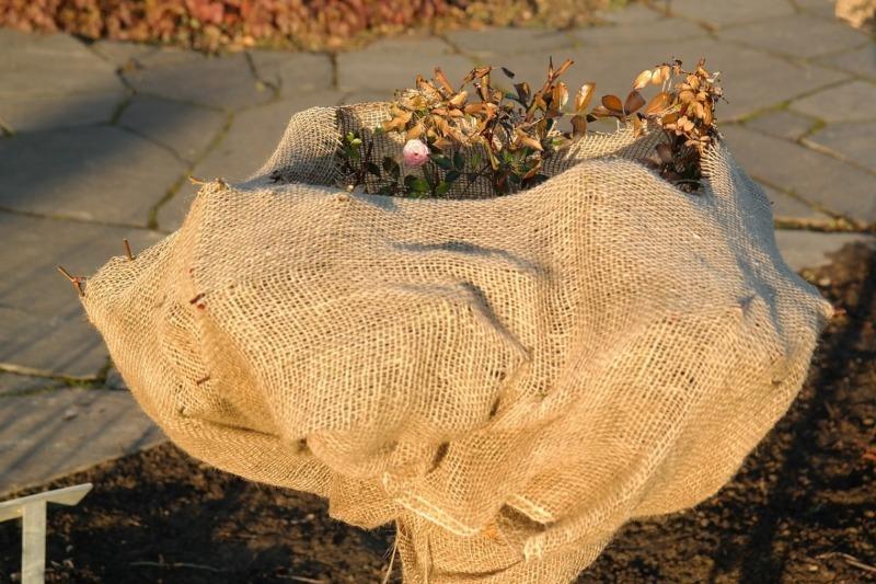 Чем укрыть розы, чтобы они пережили морозы
