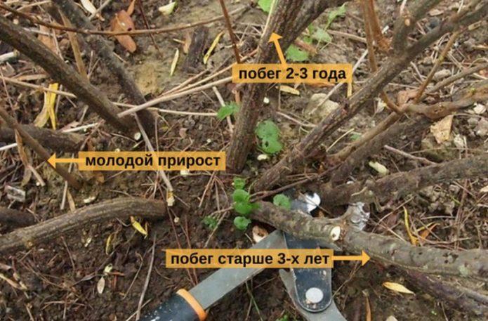 Летняя обрезка смородины после сбора урожая: альтернатива классической схеме