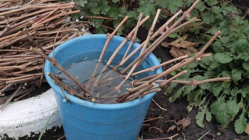 Помогаем срезанным черенкам пережить зиму