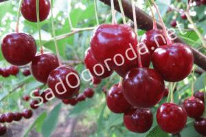 Выращивание и уход за вишней
