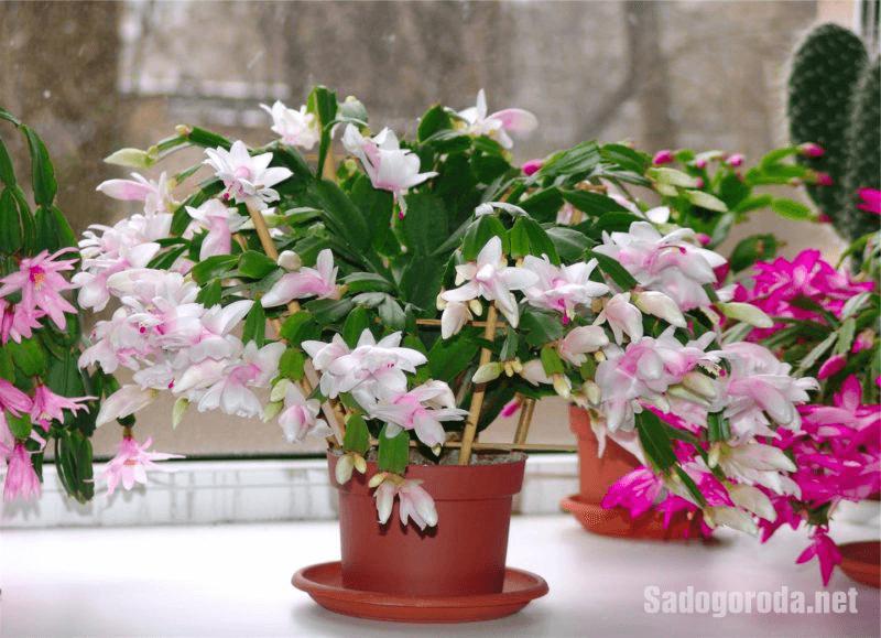 Как ухаживать за цветком декабрист в домашних условиях