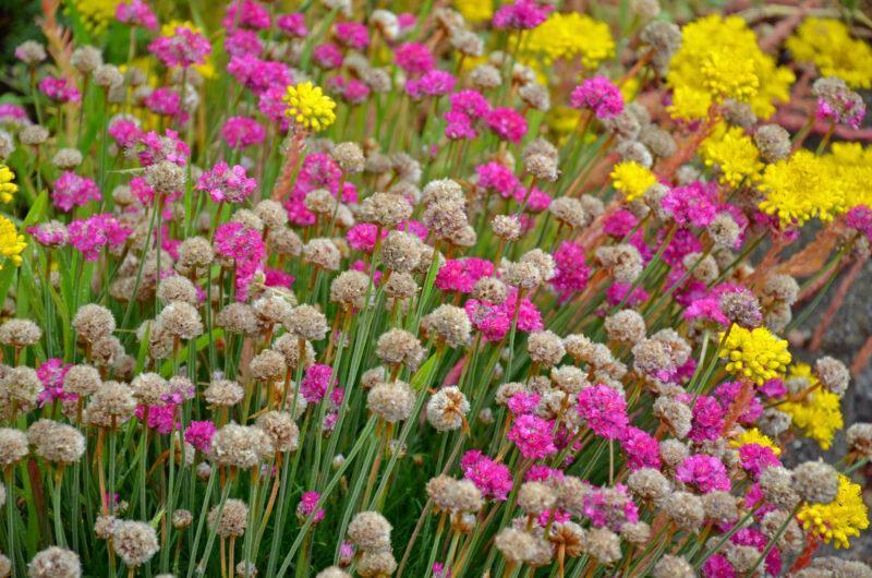 10 самых интересных многолетников, цветущих всё лето