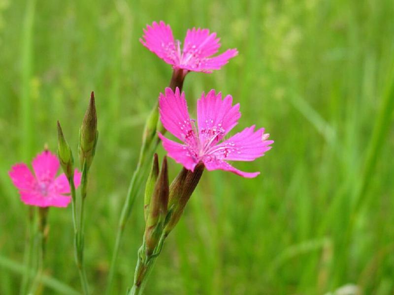 3 полевых цветка, которые пробрались в наши сады