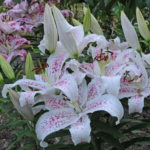 """Белые лилии - лучшие сорта для """"ленивого"""" сада"""