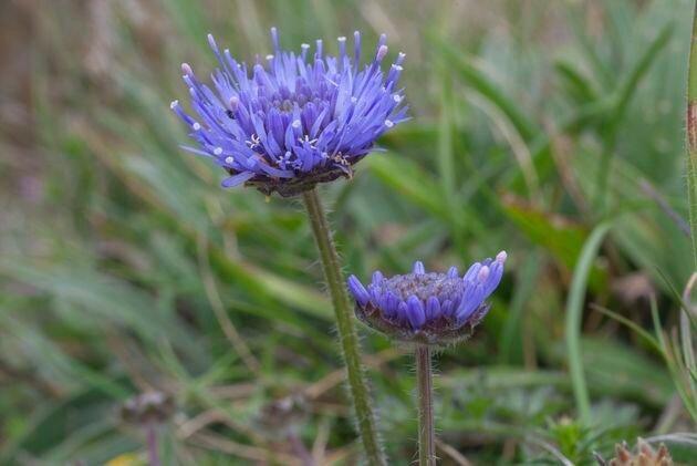 Букашник: яркие цветки и неприметные листья