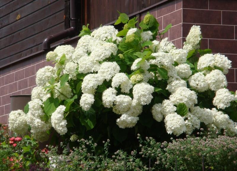 Древовидные гортензии: красота в саду