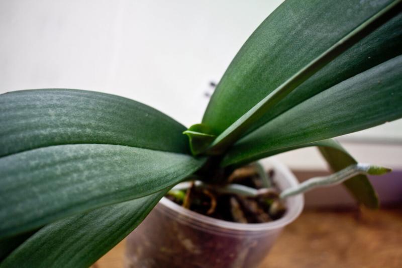 Экспериментальная орхидея: полгода без пересадки. Что с ней?