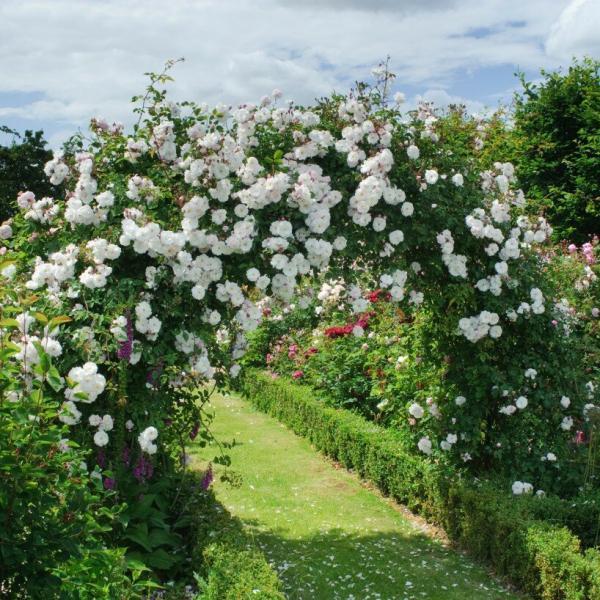 Ещё 5 любимых роз Хелен Биллиалд