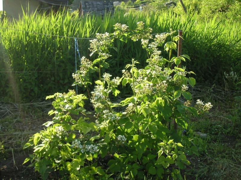 Ежевика садовая - как вырастить отличный урожай