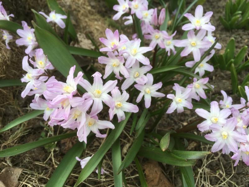Хионодокса - упрямый цветок (но я ещё упрямее)