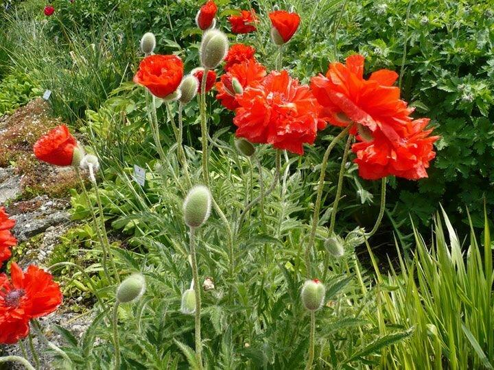 Яркий многолетник в саду