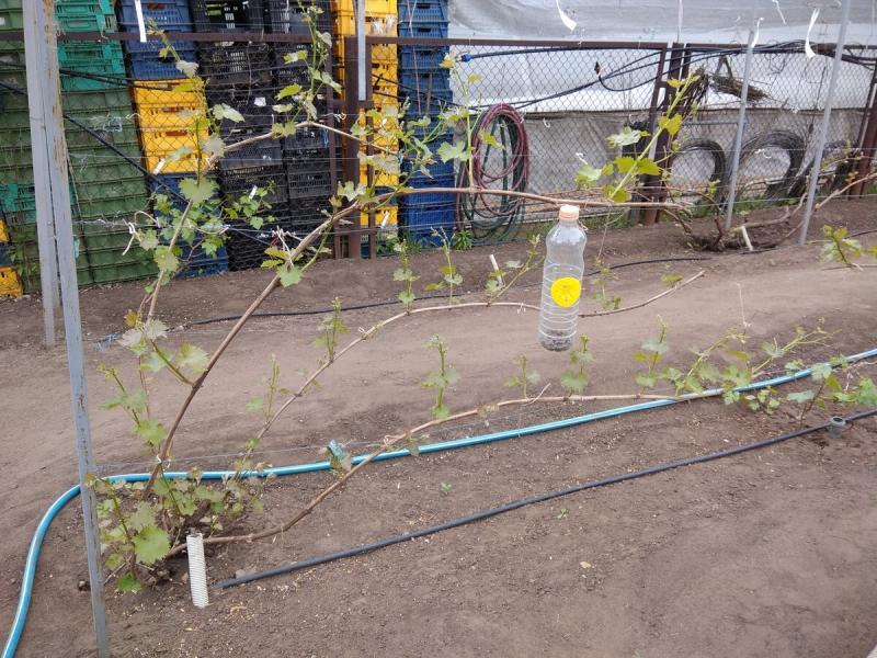 Как мы в питомнике формируем кусты винограда