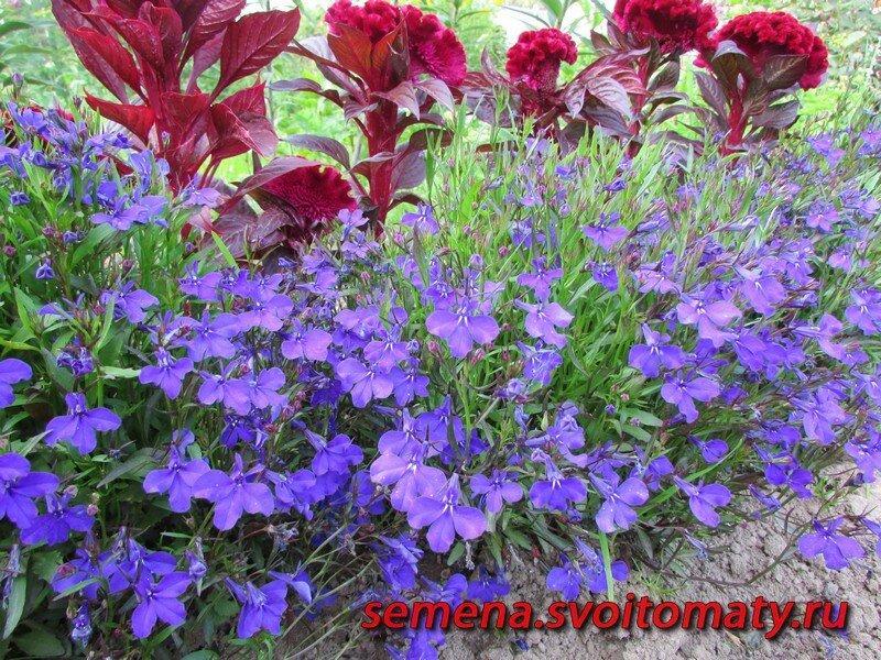 Как мы выращиваем лобелию, от посева до цветения