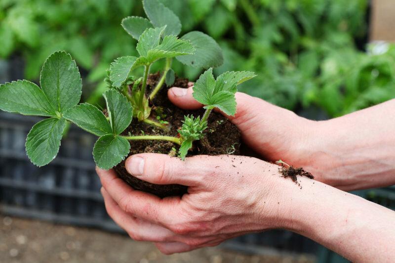 Как правильно посадить клубнику под спанбонд или пленку