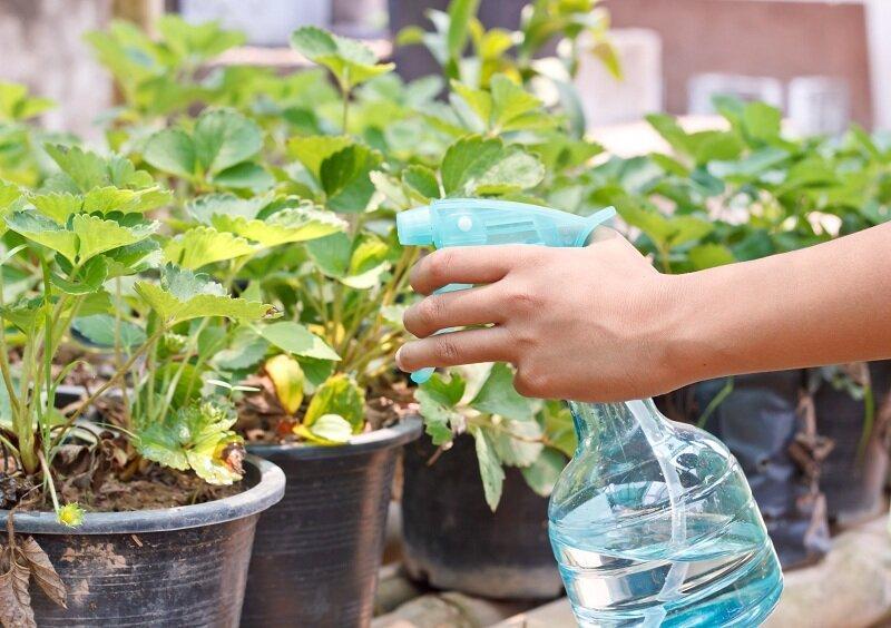 Как следует правильно поливать клубнику – советы