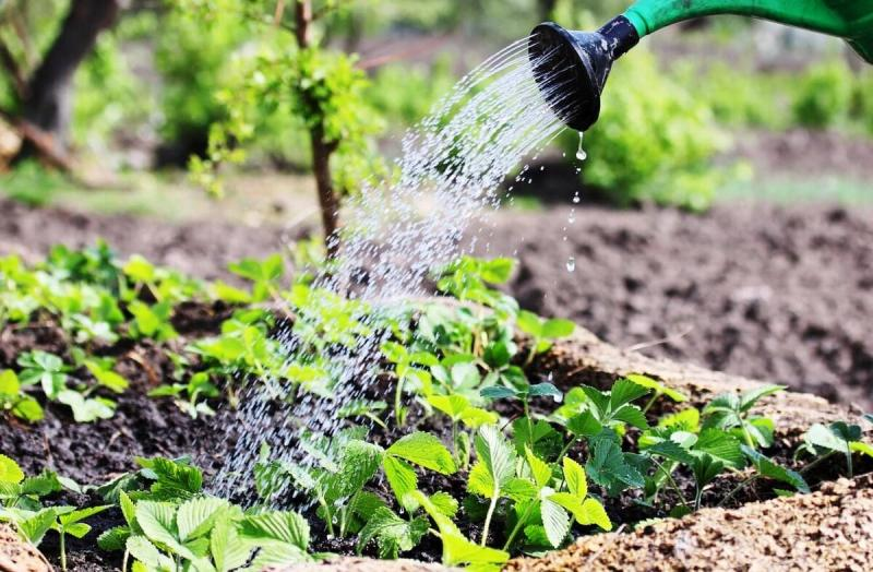 Как увеличить урожай клубники в 2-3 раза. Секреты дачников