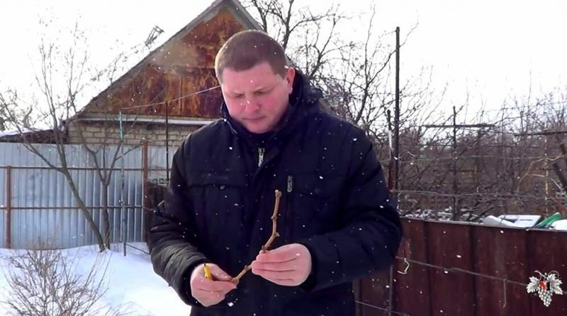 Как зимуют виноградные кусты. Укрытие винограда с помощью снега