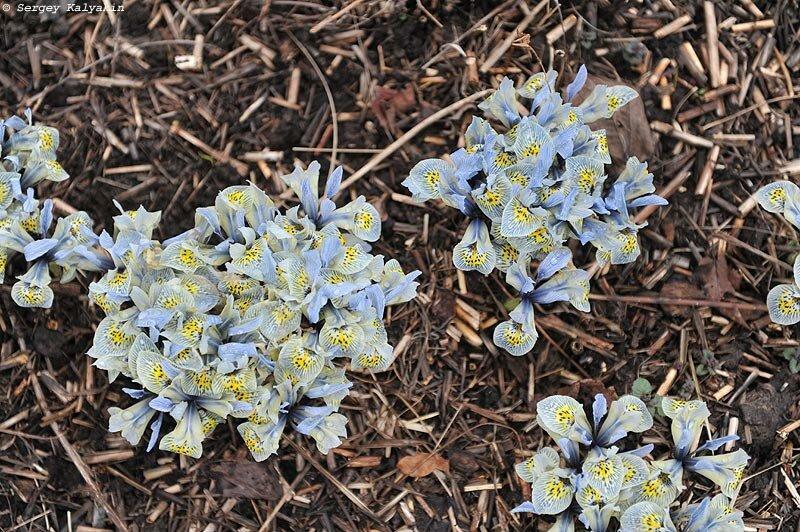 Мой сад в феврале: цветут крокусы