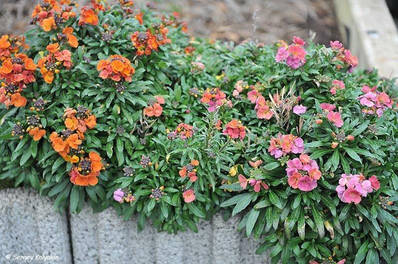 Мой сад в феврале: цветут крокусы, зацветают нарциссы