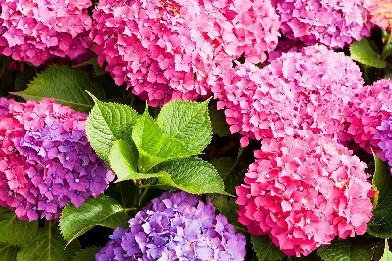 Особенности применения золы: какие растения не любят золу?