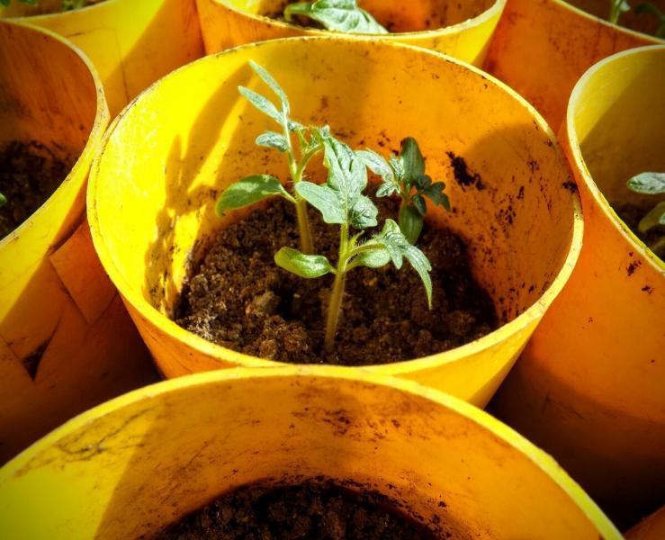 Отличный способ выращивания рассады помидор без пикировки