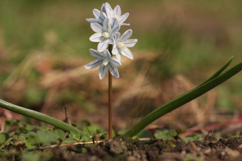 """Первоцветы, без которых не обойтись в """"ленивом"""" саду"""