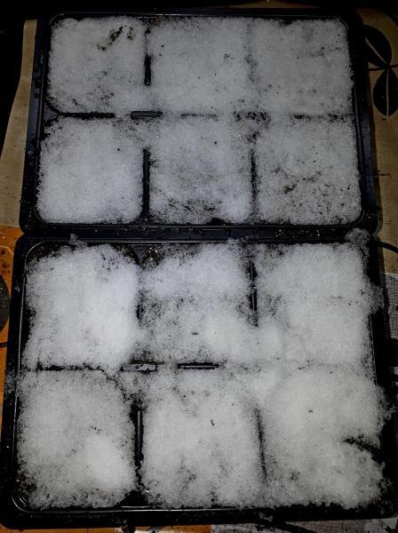 Посеяла лобелию на снег. И вот что из этого получилось.