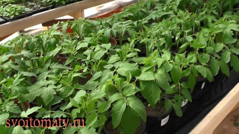 Правила выращивания хорошей рассады