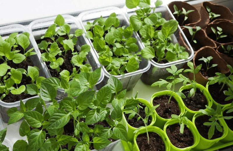 Правила здоровой рассады: «куем» урожай сами