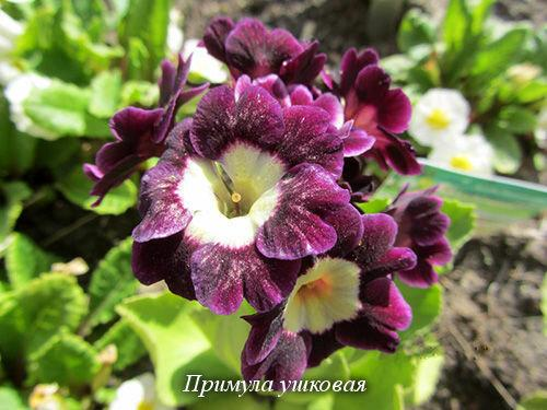 Примулы... без них и весна – не весна